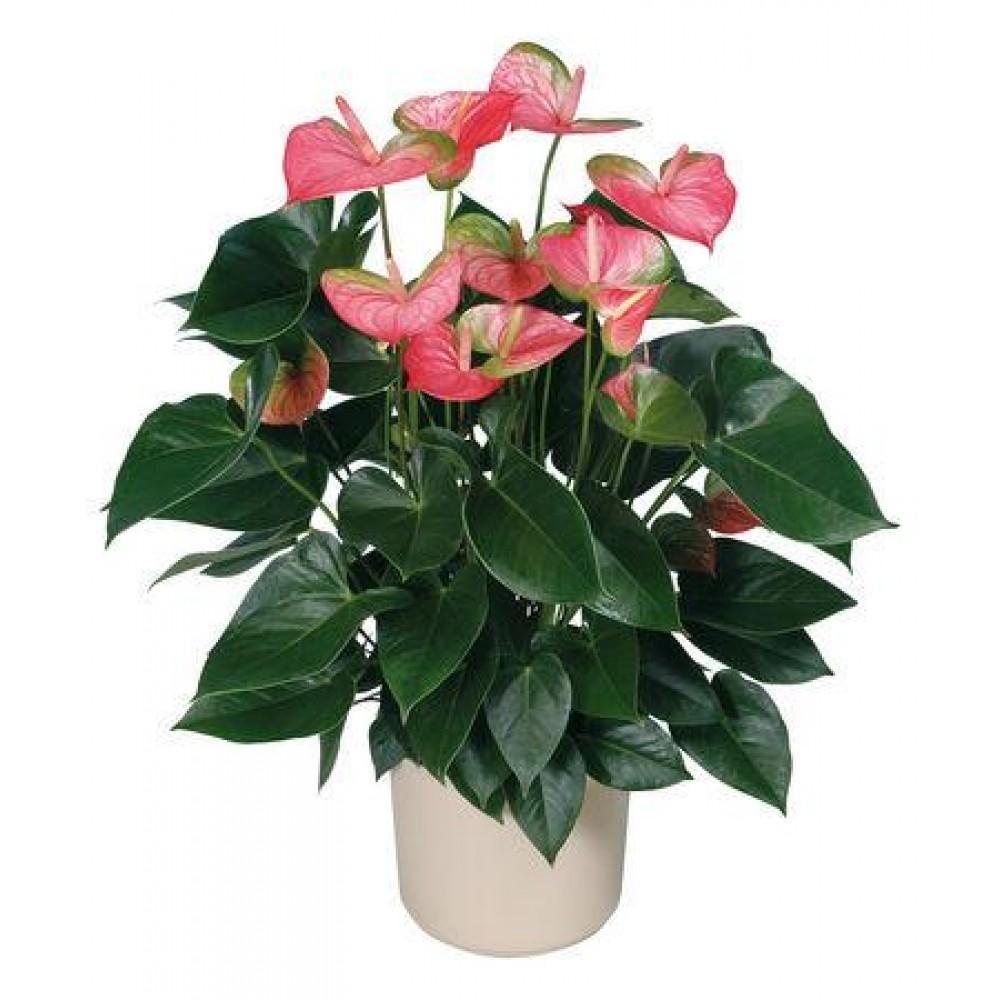Saksi Çiçeği Pembe Antoryum