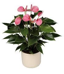 saksı çiçeği antorıum pembe