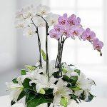 Kocaeli Saksı Orkideler