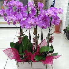 Kocaeli mor orkideler