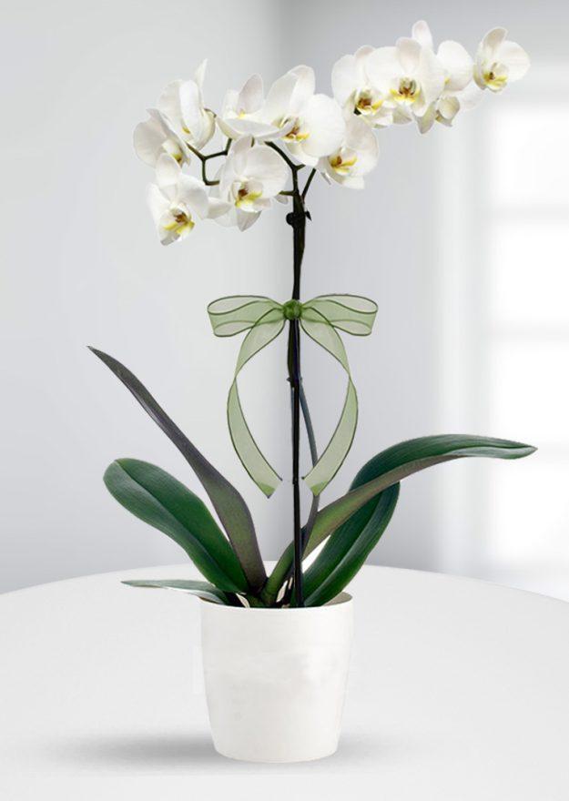 tek dallı seramik saksıda orkide