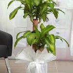 yukka salon bitkisi