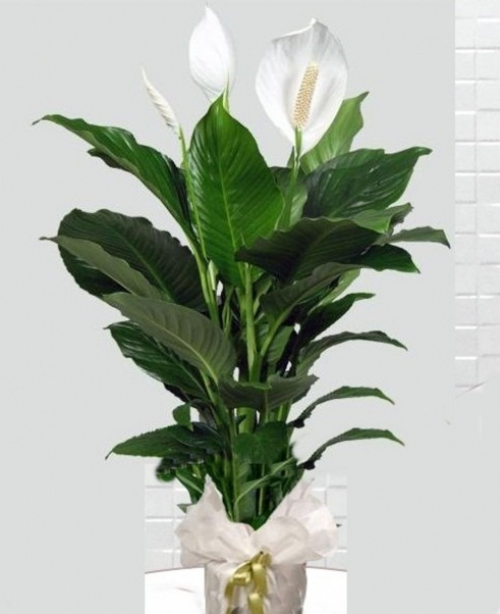 saksı salon bitkisi çiçek bakımı