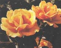 Photo of Güllerin dikilmesi, budanması ve bakımı