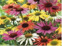papatya çiçekleri