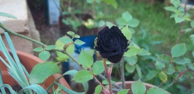 Photo of Siyah gül ve siyah gülün özellikleri